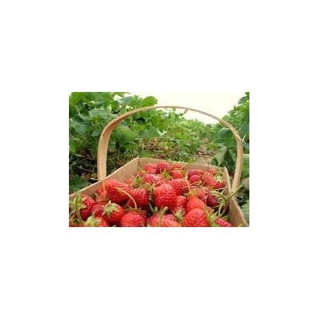 Βιολογικές Φράουλες Χαλκιδικής Bio, Ελληνικές, Φρούτα Greenhouse