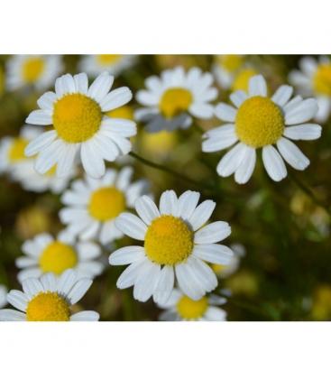 Χαμομήλι Βιολογικής Καλλιέργειας 20γρ Verum Herb