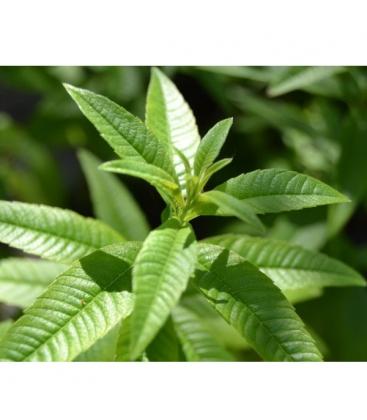 Λουίζα Βιολογικής Καλλιέργειας 20γρ Verum Herb