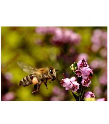 Μέλι Πεύκου & Ερείκης Χολομώντα Βιολογικό 940γρ Μέλισσες οι Μάγισσες