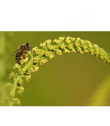 Μέλι Ανθέων Αλογοθύμαρου Βιολογικό 480γρ Μέλισσες οι Μάγισσες